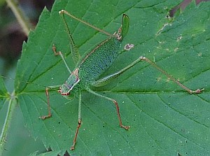 Female Speckled Bush-cricket - Leptophyes punctatissima © Teresa Farino