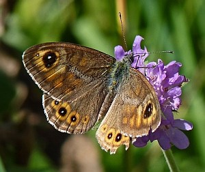 Large Wall Brown - Lasiommata maera © Teresa Farino