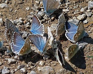 Mud-puddling Chalk-hill Blues - Polyommatus cordon © Teresa Farino