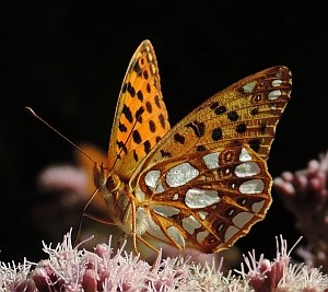 Queen of Spain Fritillary - Issoria lathonia © Teresa Farino