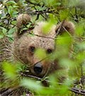 Brown-Bear-cub © John Muddeman