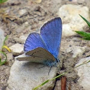 Iolas Blue Iolana iolas in the Province of Segovia : June 2014