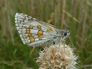 Yellow-banded Skipper Pyrgus sidae in W Gredos: June 2014