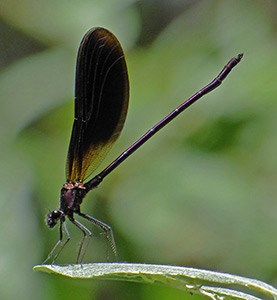 Dragonflies+ in Madrid & Extremadura: June 2014 Trip Report  (Part 1)