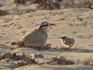 Cream-coloured Courser with chick - Cursorius cursor © John Muddeman