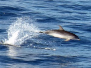 Atlantic Spotted Dolphin - Stenella frontalis © John Muddeman