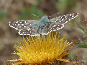 Dusted upperside of a presumed Southern Grizzled Skipper - Pyrgus malvoides © John Muddeman