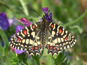 The colourful Spanish Festoon - Zerynthia rumina © John Muddeman