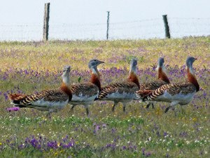 Great Bustards 2 - Otis tarda © John Muddeman