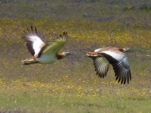 Great Bustards flying - Otis tarda © John Muddeman