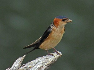 Red-rumped Swallow - Cecropis daurica © John Muddeman