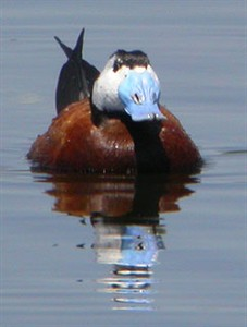 male White-headed Duck  - Oxyura leucocephala © John Muddeman