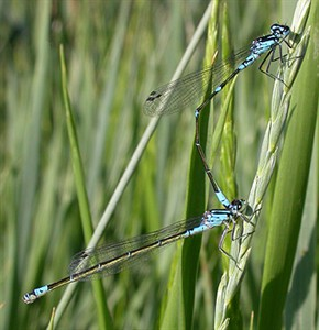 Variable Damsels in tandem © John Muddeman