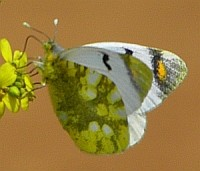 Sooty Orange Tip in northern Palencia