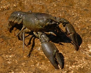 White-clawed Crayfish in western Cantabria