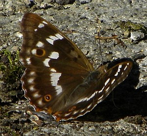 Lesser Purple Emperor in Cantabria