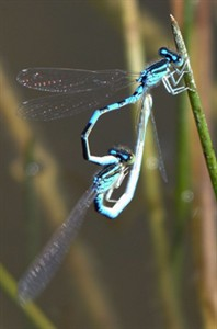More unusual Odonata in W Madrid