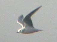Ross' Gull in C Spain