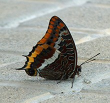 Two-tailed-Pasha - Charaxes-j © John Muddeman