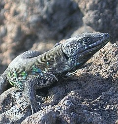 Atlantic Lizard - Gallotia atlantica © Teresa Farino