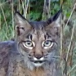 Iberian Lynx, Spanish Imperial Eagles and other mammals and raptors in the Sierra de And&#250;jar, December 2011