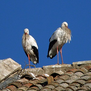 Church roof-nesting White Storks - Ciconia ciconia © John Muddeman
