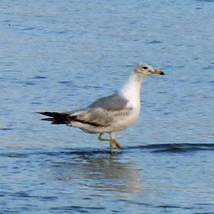 Second-summer Ring-billed Gull - Larus delawarensis © John Muddeman