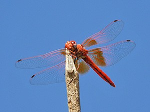 Dragonfly news: Orange-winged Dropwing spreads N and Faded Pincertail refound in Madrid!