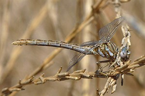 Faded Pincertail [i]Onychogomphus costae[/i] in Madrid