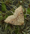 Dusky Scalloped Oak — Crocallis dardoinaria