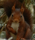 Red Squirrel – Sciurus vulgaris