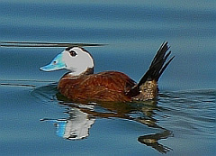 White-headed Duck - Oxyura leucocephala © Teresa Farino