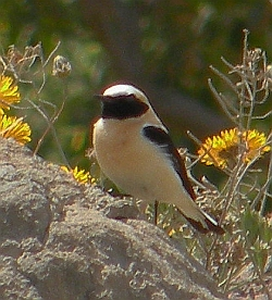 Black-eared Wheatear - Oenanthe hispanica © Teresa Farino