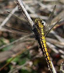 Female Black-tailed Skimmer - Orthetrum cancellatum © Teresa Farino
