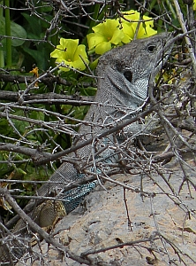 Male Ocellated Lizard - Timon lepidus nevadensis © Teresa Farino