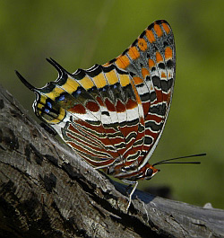 Two-tailed Pasha - Charaxes jasius
