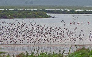 Shorebirds and Flamingos in salinas © John Muddeman