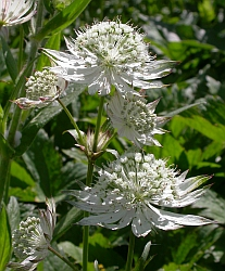 Astrantia - Astrantia major © Teresa Farino