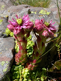 Mountain Houseleek - Sempervivum montanum © Teresa Farino
