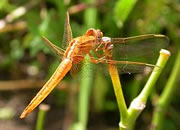 Species list - Dragonflies and Damselflies