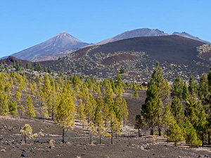Teide Peak and forest crown of Canary Pine © John Muddeman