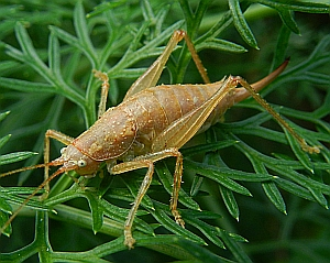 Tenerife Laurel Bush-cricket – Canariola willemsei © Teresa Farino
