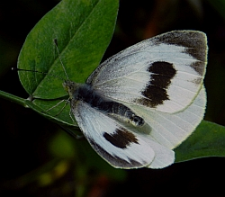Canary Islands Large White – Pieris cheiranthi cheiranthi © Teresa Farino