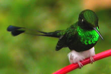 Booted Racket-tail © John Muddeman
