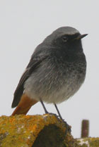 Birds of Extremadura, Spain - Black Redstart © John Muddeman