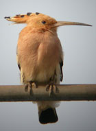 Birds of Extremadura, Spain - Hoopoe © John Muddeman