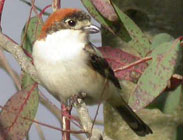 Birds of Madrid, central Spain - Woodchat Shrike © John Muddeman