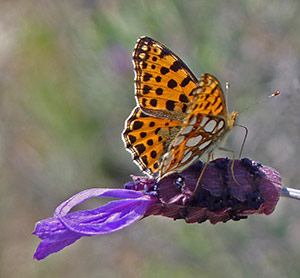 Queen-of-Spain Fritillary - Issoria lathonia © John Muddeman