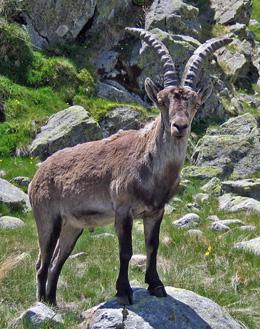 Spanish Ibex - Capra hispanica © John Muddeman
