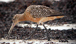 Bar-tailed Godwit summer plumage © John Muddeman